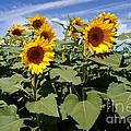 Sunflower Field by Kerri Mortenson