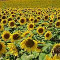 Sunflower Field by Mark Dodd