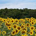 Sunflower Field by Patton Imagery