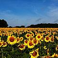 Sunflower Field by Paul Slebodnick