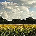 Sunflower Field by Sharon M Connolly