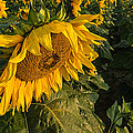 Sunflower Field by Steve Gadomski