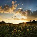 Sunflower Field Sunset by Sharon M Connolly