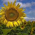 Sunflower Field by Susan Candelario