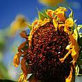 Sunflower Four by David Sanchez