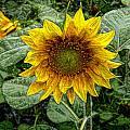 Sunflower Garden by Roxy Hurtubise