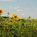 Sunflower Greetings by Nancy De Flon