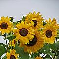 Sunflower Group by MTBobbins Photography