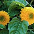 Sunflower (helianthus Annuus Tuberosus) by D C Robinson