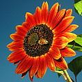 Sunflower Honey Bee by Joyce Dickens