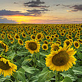Sunflower Images - A Field Of Golden Texas Wildflowers by Rob Greebon