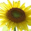 Sunflower In Light by Neal Eslinger
