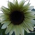 Sunflower In Light by Scott B Bennett