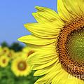 Sunflower In Sunflower Field by Elena Elisseeva