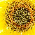 Sunflower In The Summer Sun by Weston Westmoreland