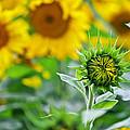 Sunflower by Ivan Slosar