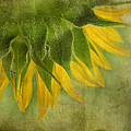 Sunflower by Ivelina G