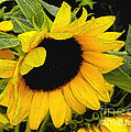 Sunflower by James C Thomas