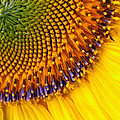 Sunflower by Jean Noren