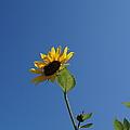 Sunflower by Jeffery L Bowers