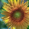 Sunflower by Jerry Gammon