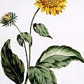 Sunflower by John Edwards