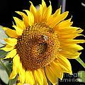 Sunflower-jp2437 by Jean Plout