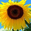 Sunflower by Kathy Salit