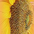 Sunflower by Kay Novy