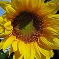 Sunflower  by Laura Corebello