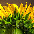 Sunflower by Linda Mcfarland