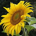 Sunflower Looking To The Sky by Holly Eads