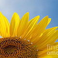 Sunflower Looking Up by Mark Dodd