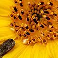 Sunflower Macro 4 by Scott Hovind