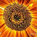 Sunflower Macro by Grace Grogan