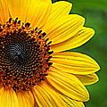 Sunflower Macro by Paul Wilford