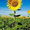 Sunflower by Mae Wertz