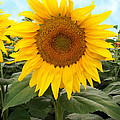 Sunflower by Marilyn Hunt