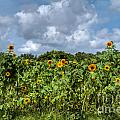 Sunflower Maze by Sue Karski