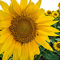 Fibonacci In Full Bloom by Melinda Ledsome