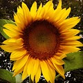 Sunflower by Michael French