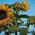 Sunflower Morning by Cheryl Baxter