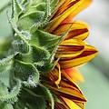 Sunflower Named The Joker by J McCombie