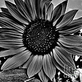 Sunflower In Black And White by Nina Ficur Feenan