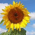 Sunflower Nirvana 30 by Allen Beatty