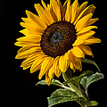 Sunflower Number 2 by Endre Balogh