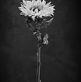 Sunflower Number 5 B W by Steve Gadomski