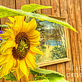 Sunflower On A Fence by Jim Lepard