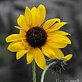 Sunflower On Gray by Rebecca Margraf