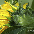 Sunflower Opening by Paul W Faust -  Impressions of Light